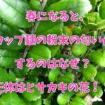 春になると、カップ麺の粉末の匂いがするのはなぜ?正体はヒサカキの花!!